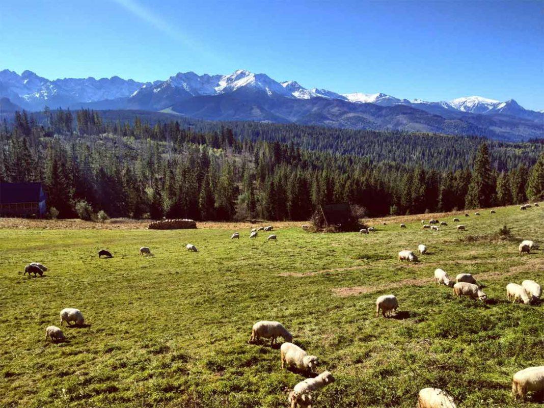 Tatry - wypas oweic, widok z Bukowiny Tatrzańskiej
