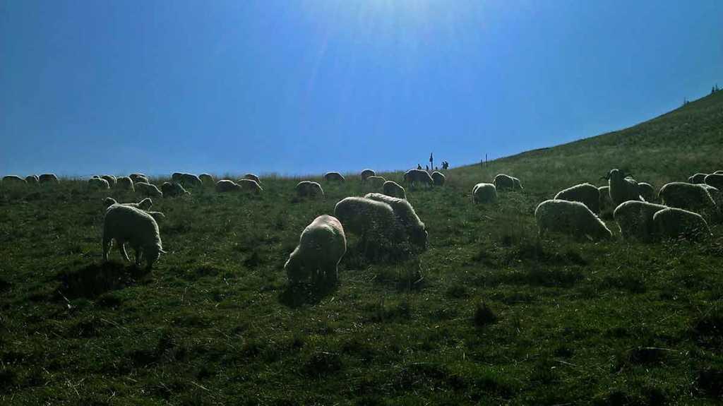 Tatry, wypas owiec