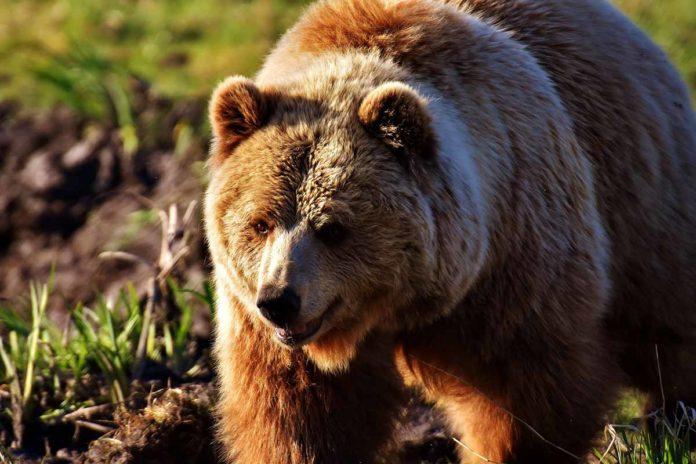 Niedźwiedź brunatny, Tatry