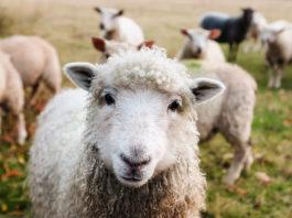 Tatry owce