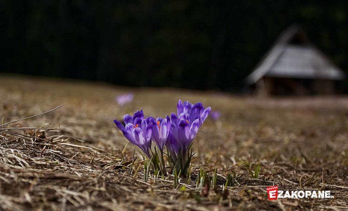 Krokusy wiosną
