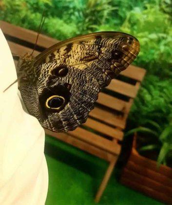 Motylarnia Zakopane, motyl