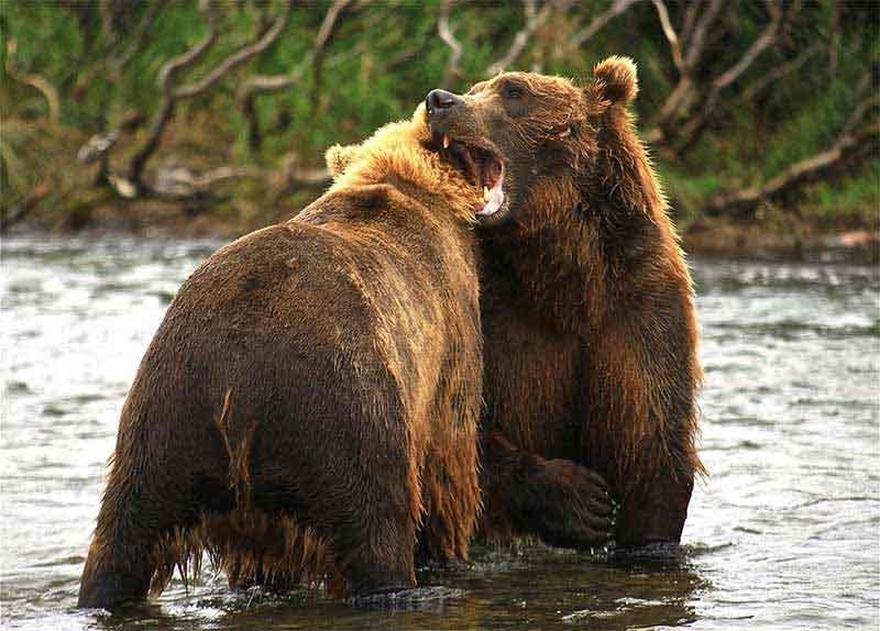 Tatrzańskie niedźwiedzie